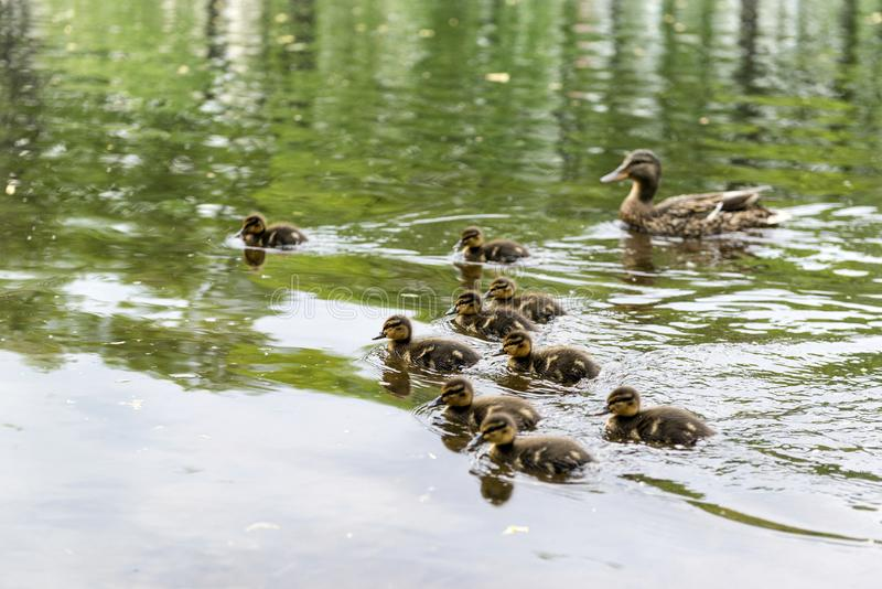 Mom duck and a lot of little ducklings on the pond, waterfowl. Birds on the water stock image
