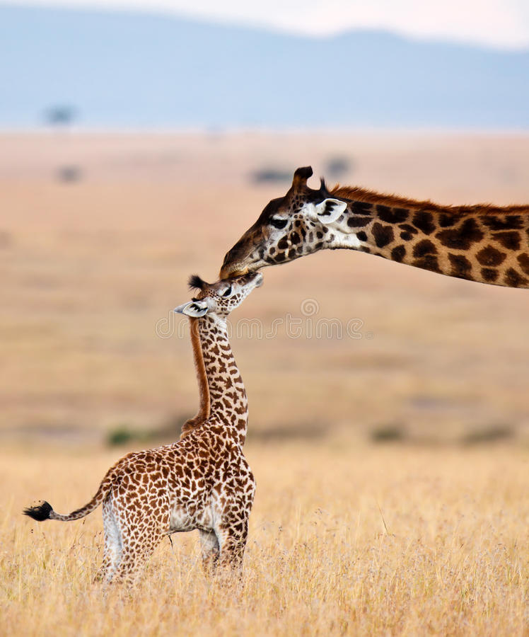 Mom giraffe kiss her cub royalty free stock photo