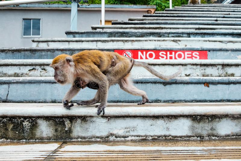 Mom and her baby macaque monkey walking on stairs of temple in malaysia. Baby baboon and her mom walking down stairs in india stock photos