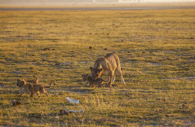 Lion and cubs. Mom lion invites the remaining four cubs to retreat from the open space to the bush - a large amount of safari machines distracting her. Amboseli royalty free stock photo
