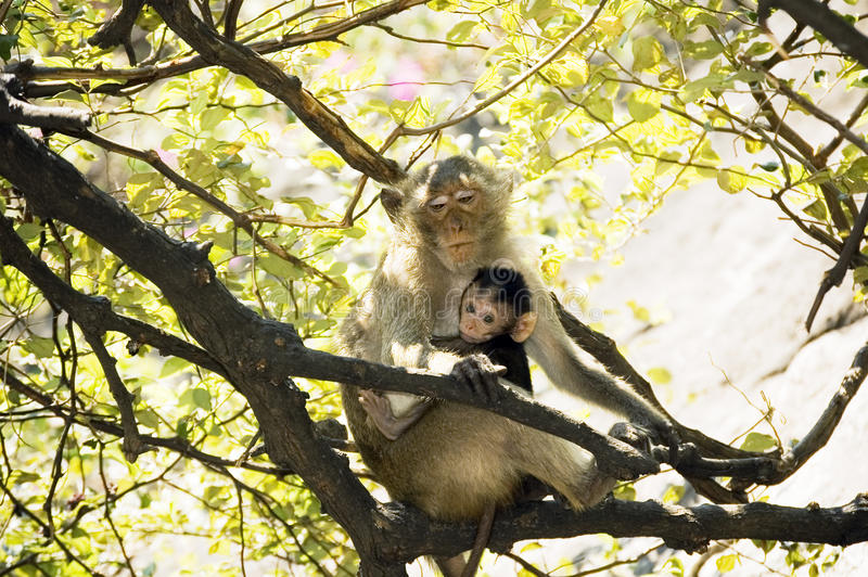 Mom monkey with her baby in her arms royalty free stock images