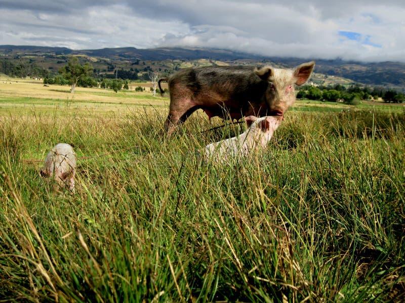 Mom pig whit her little babys // Mamá cerdo con sus pequeños cerditos royalty free stock photo