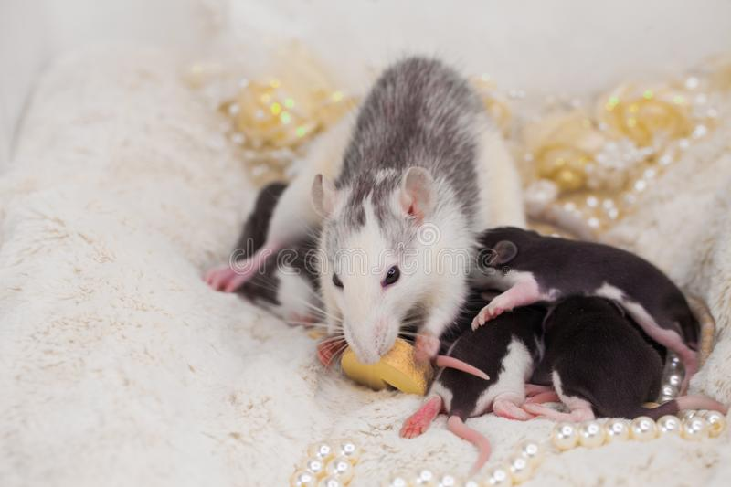 Mom is a rat with her cubs. The mouse eats a piece of cheese. stock images