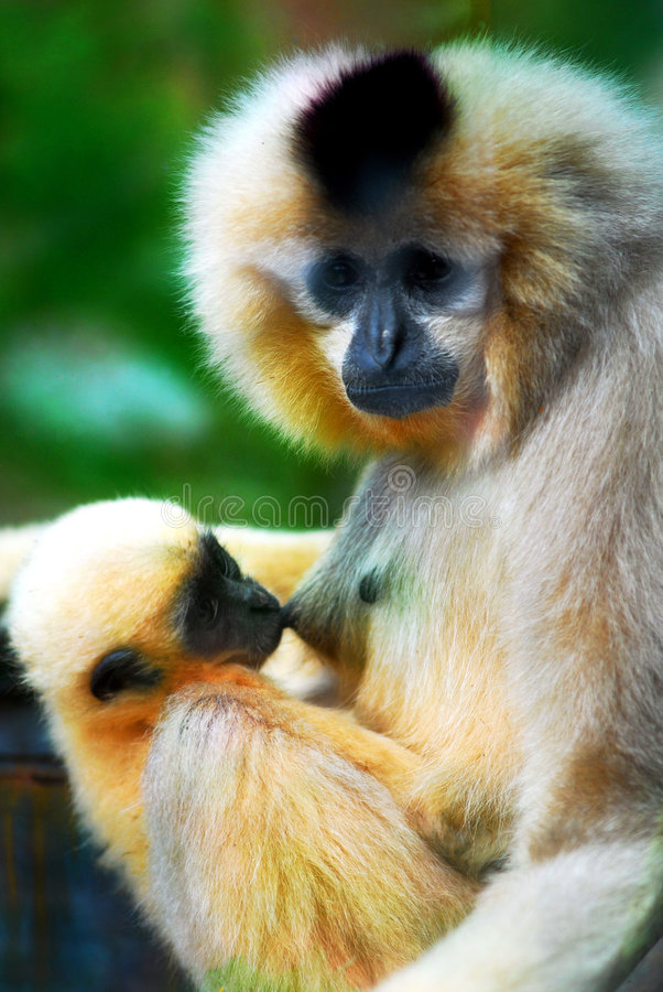 Mom and son. A Gibbon mom was feeding her baby stock photo