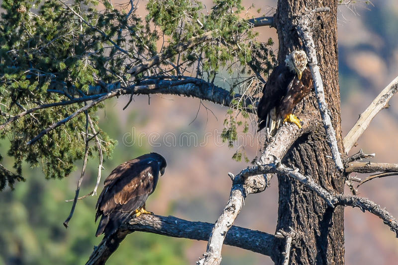 `Mom you just dropped my fish`. Rare find American Bald Eagle Family stock photography