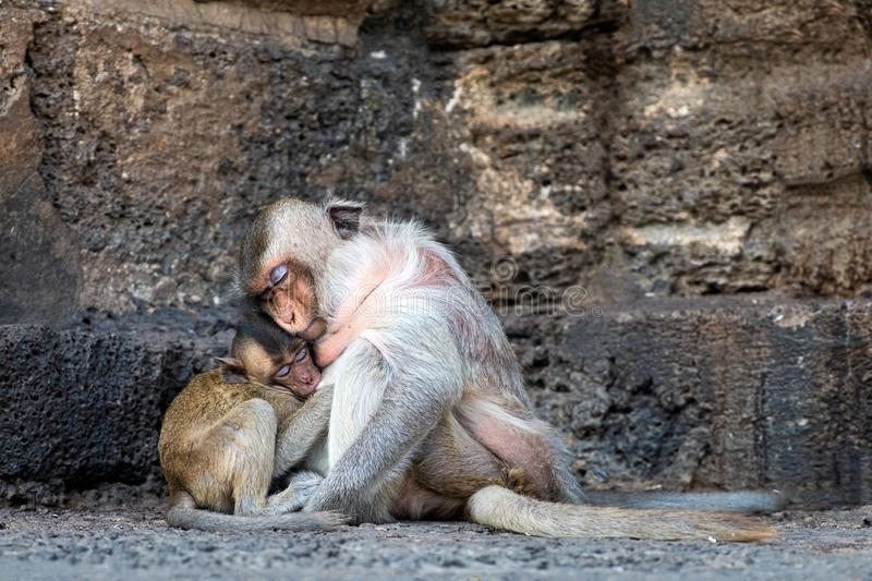 Mom with young monkey sleeping in buddhist temple. Thailand stock images