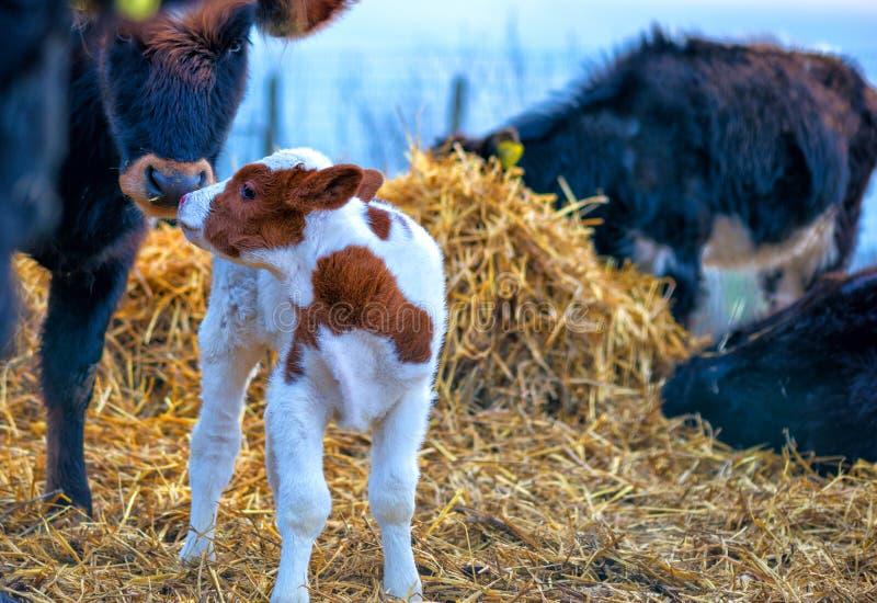 Moment émotif entre la vache et le veau à la ferme photo stock