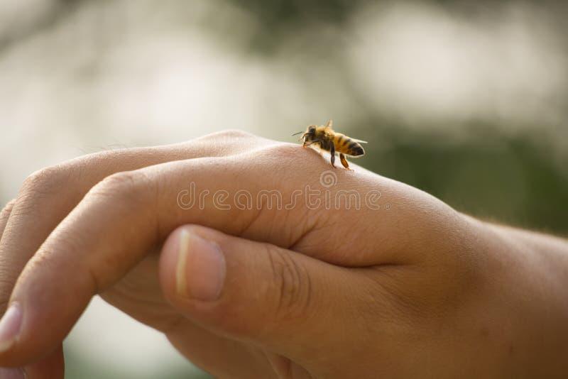 Moment miodowa pszczoła na ręce zdjęcie royalty free