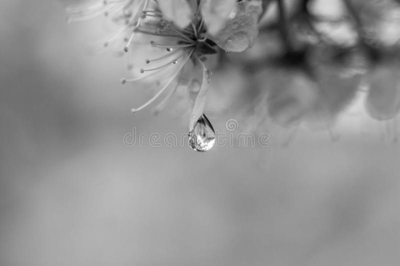 A Moment in Time. A perfect teardrop shaped raindrop, on the petal of a crabapple tree blossom royalty free stock photography