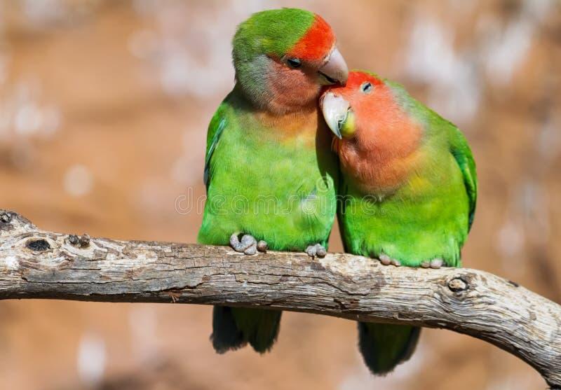 Moment von Weichheit zwischen einem Paar Papageien lizenzfreies stockfoto
