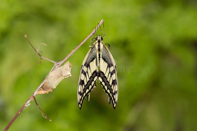 Momento asombroso del primer sobre la mariposa que emerge de crisálida en la ramita en fondo verde DOF bajo imagen de archivo