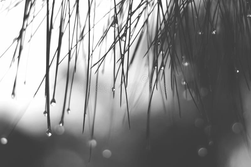 Momento in bianco e nero solo di tono & di umore dell'acqua piovosa di goccia sulle foglie fotografia stock