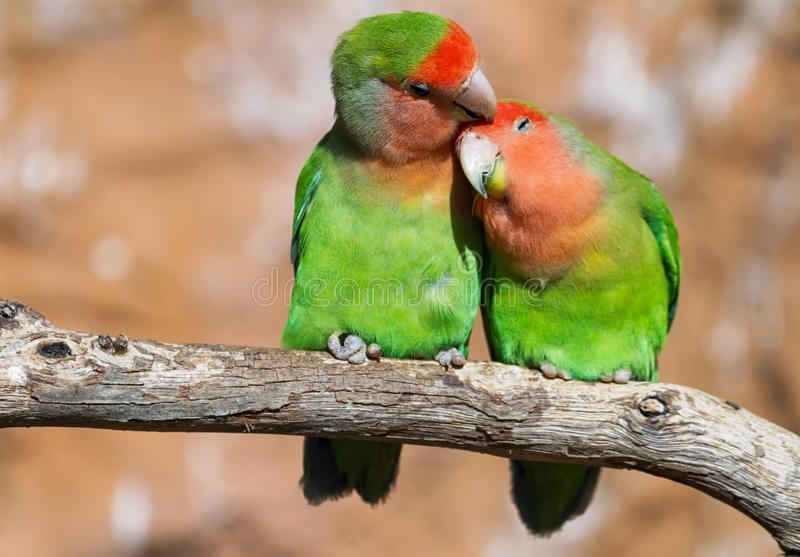 Momento da ternura entre um par de papagaios foto de stock royalty free