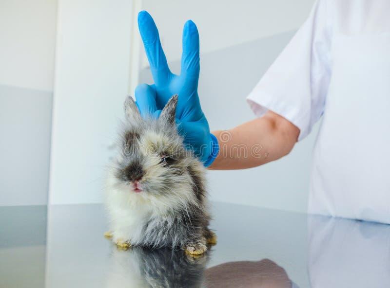 Momento divertido después de tratar un conejo enfermo del bebé en una clínica veterinaria fotos de archivo