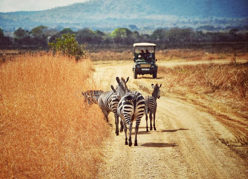 Momento do safari foto de stock
