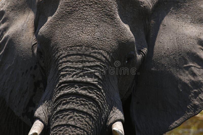 Momento intenso del elefante africano fotos de archivo libres de regalías
