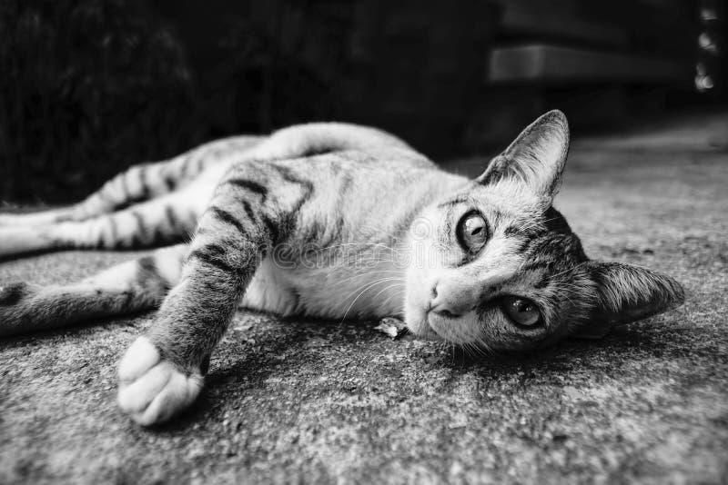 Momento sveglio di un gatto tailandese che mette su uno stile dell'immagine a colori di messa a terra in bianco e nero fotografia stock