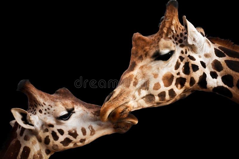 Momento tenero con le giraffe fotografia stock libera da diritti