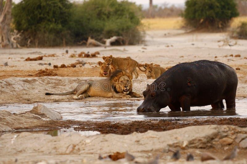 Momentos tensos no arbusto africano imagem de stock