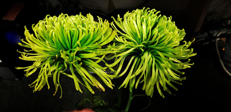 Momia de la araña del crisantemo del verde lima de Anastasia Mum imágenes de archivo libres de regalías