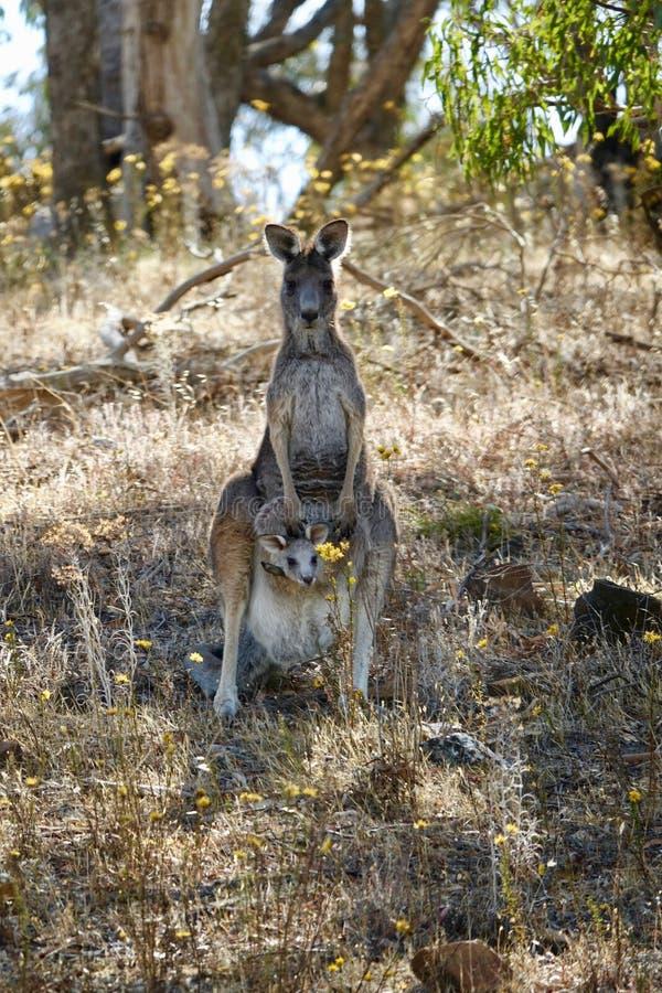 Momia del canguro con el bebé que pega su cabeza fuera de bolsa del het imagen de archivo libre de regalías