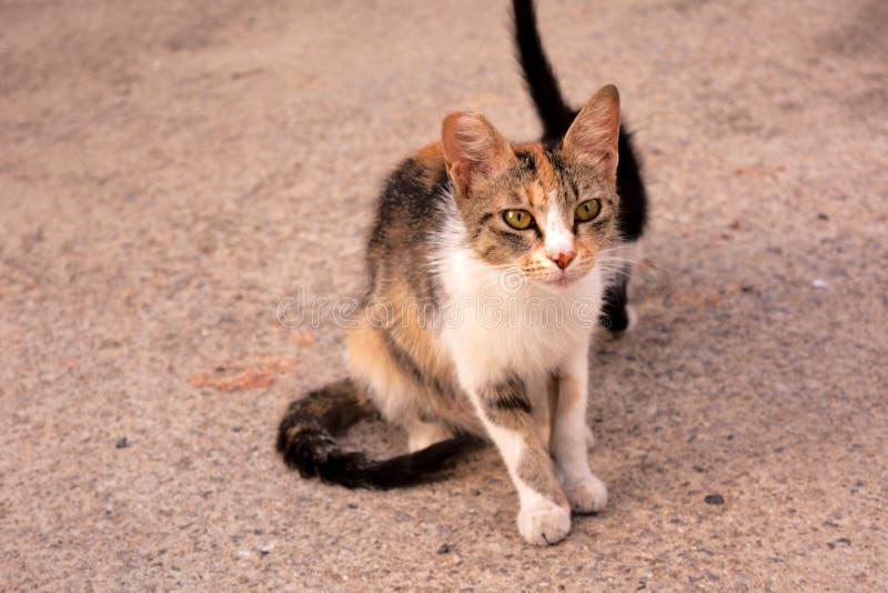 Momia perdida del gato de Tabico del calicó con su gatito fotos de archivo