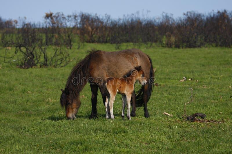 Momia y bebé de caballo, Dartmoor imágenes de archivo libres de regalías