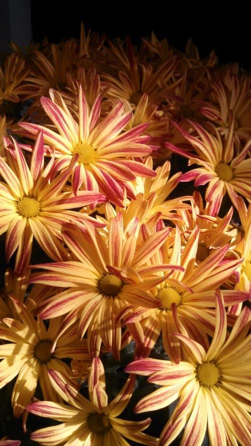 Momias del crisantemo el lunes por la mañana fotos de archivo libres de regalías