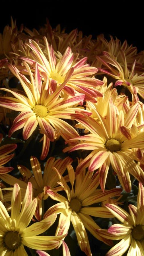 Momias del crisantemo el lunes por la mañana imagen de archivo