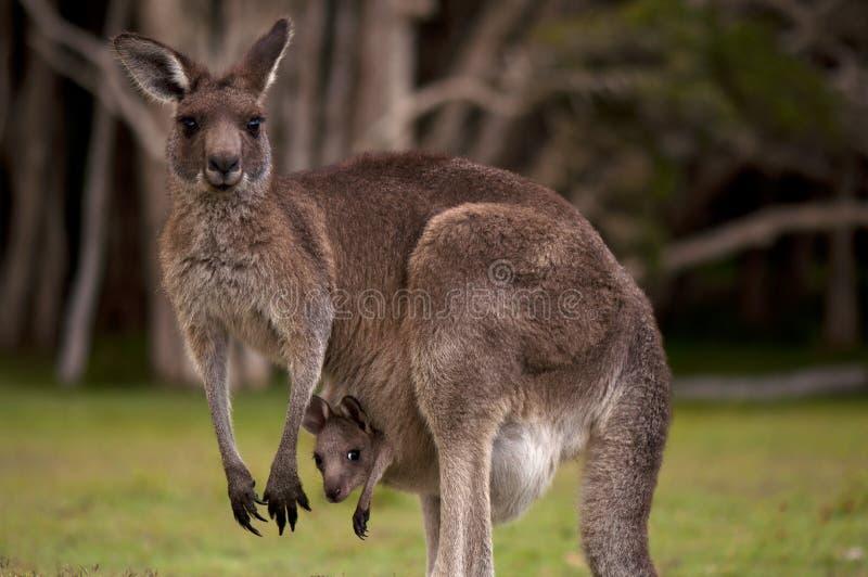Momie de kangourou avec une chéri Joey dans la poche photographie stock