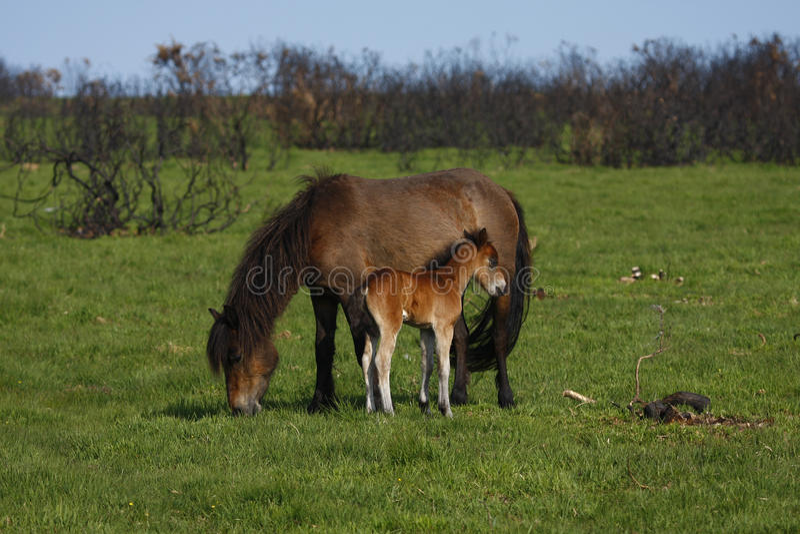 Momie et chéri chevalines, Dartmoor images libres de droits