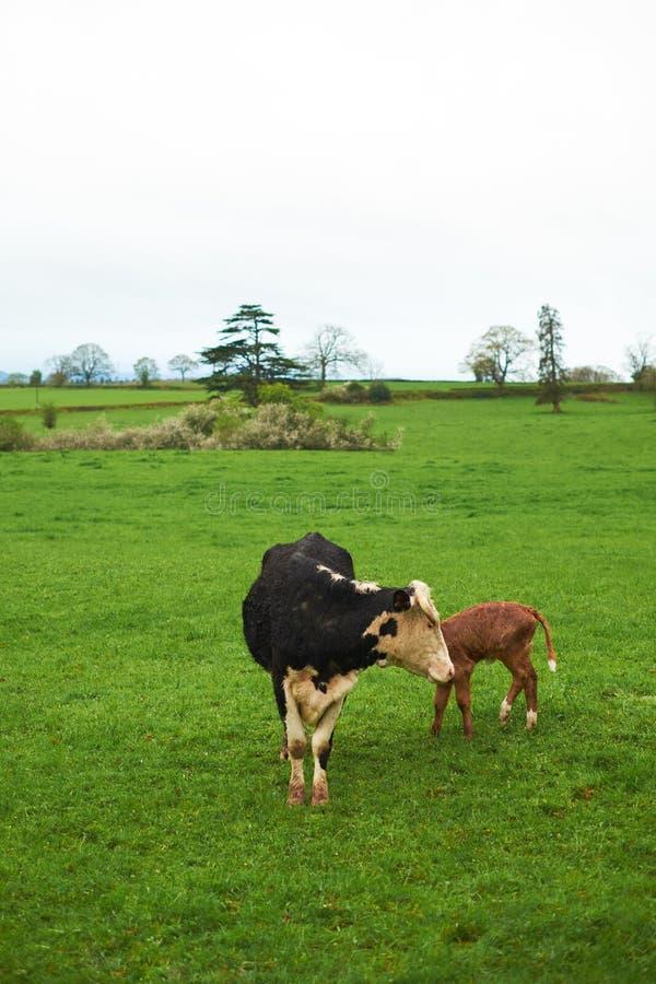 Momma母牛和小牛在一个绿色草甸,小山,多云天气 库存图片