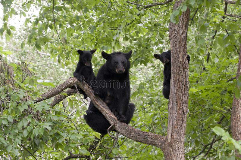 Momma Bear and Two Cubs. Momma bear with two cubs in a tree stock photo