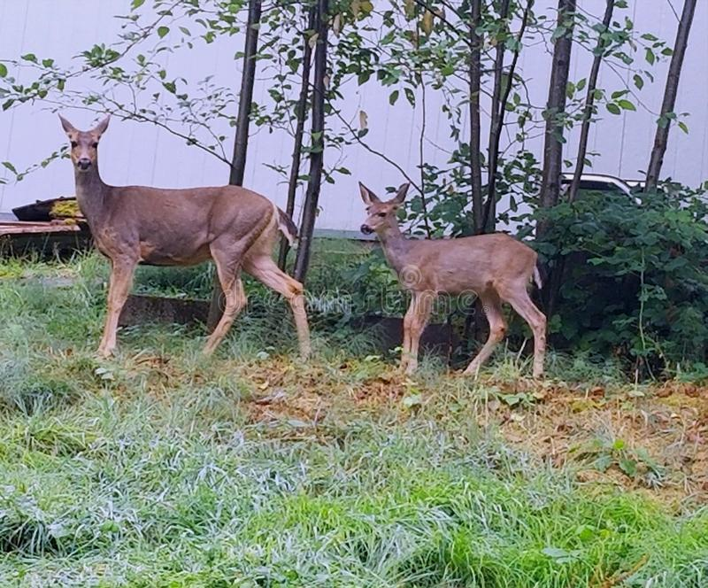 Momma deer and her baby stock images