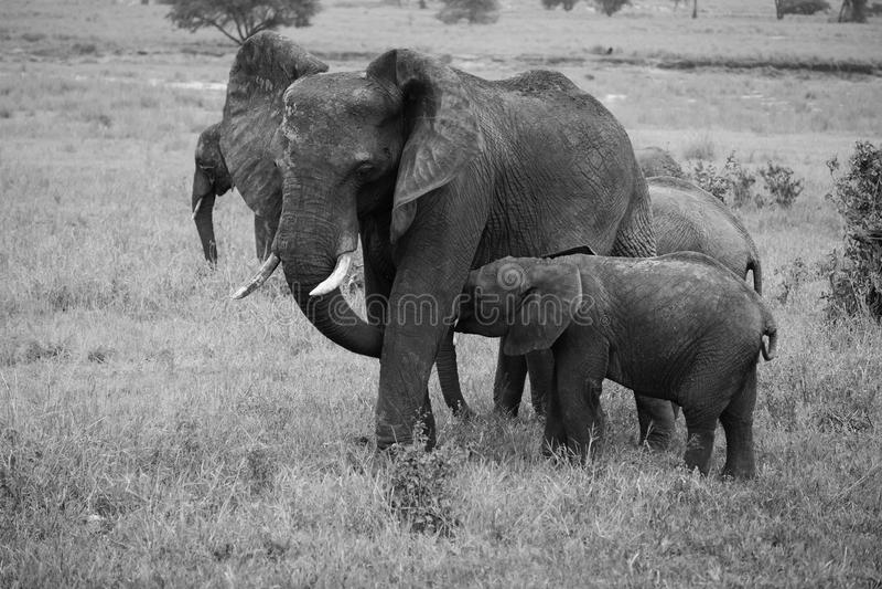 Momma i karmiący dziecko słoń w czarny i biały obraz stock