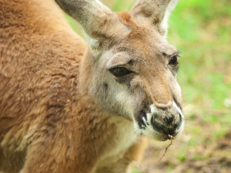 Momma Kangaroo stock photo