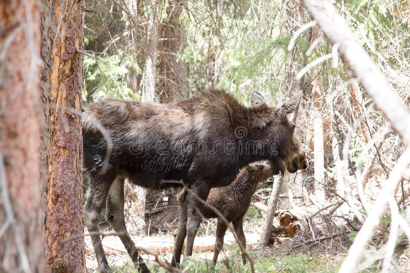 Female Momma Moose Feeding her Baby in Colorado stock photo