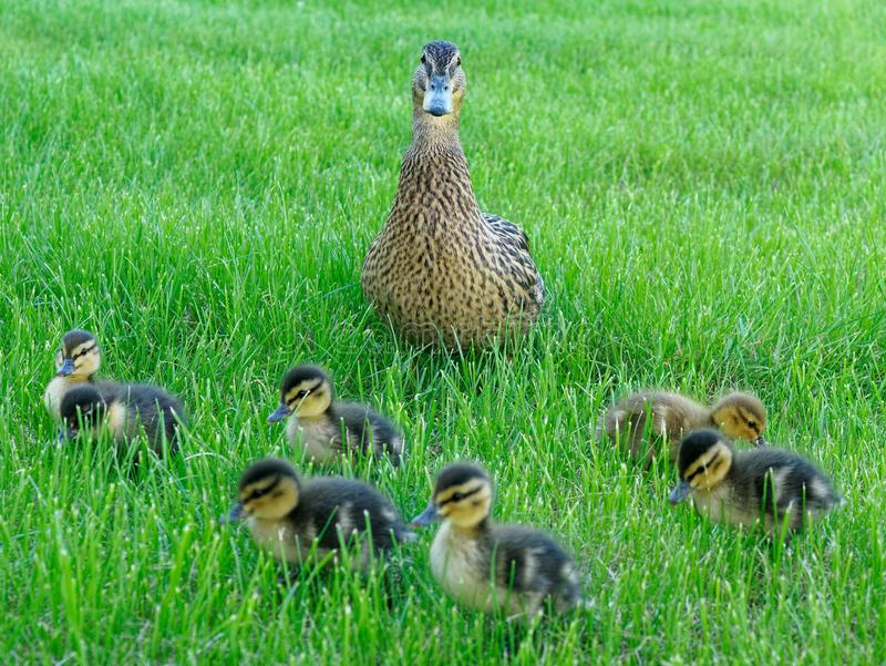 mommy duck and its lovely chicks grass royalty free stock images