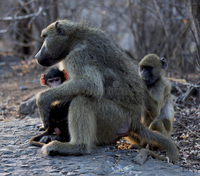 Mommy monkey with her babies stock image
