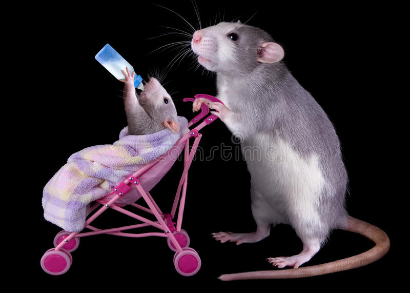 Mommy rat with baby. A mother rat is pushing her baby in a stroller while the baby is drinking milk from a bottle stock images