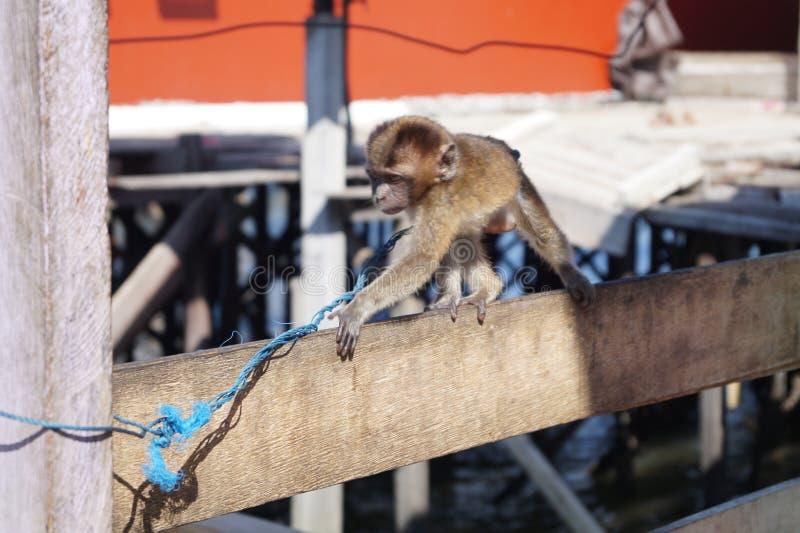 Momo el pequeño mono fotografía de archivo libre de regalías