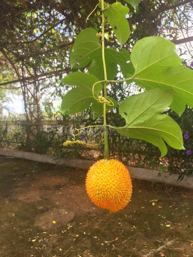 Momordicacochinchinensisen ser bister ut Spreng fruktträd arkivfoton