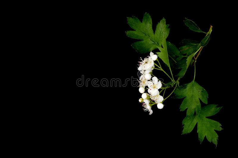 Monógyna van Crataégus van de haagdoorntak met witte die bloemen op een zwarte achtergrond worden geïsoleerd royalty-vrije stock fotografie