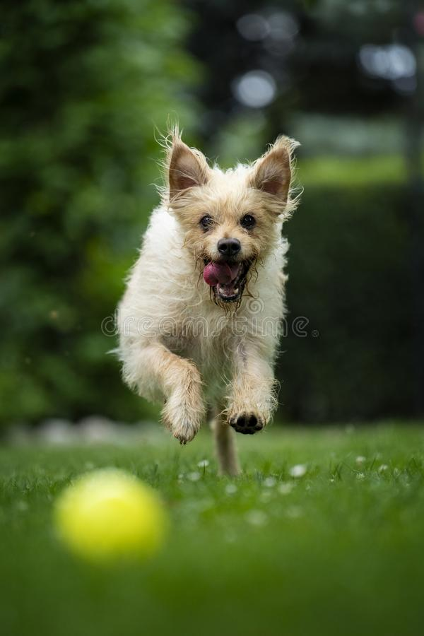 Mon chien avec ma boule préférée photos libres de droits