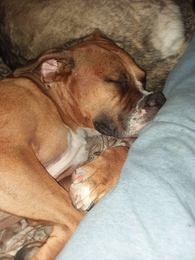 Mon chien somnolent images stock
