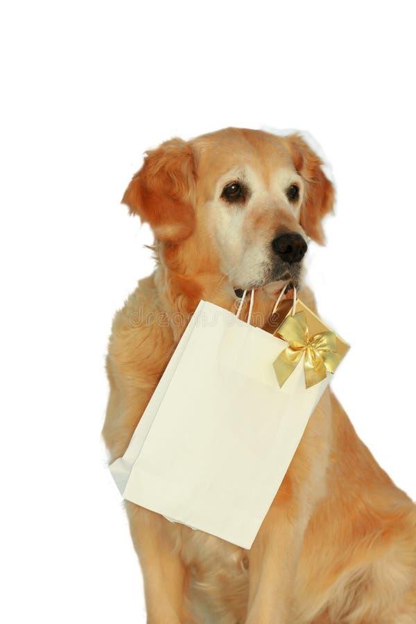 Mon crabot - â de chien d'arrêt d'or d'â photo libre de droits