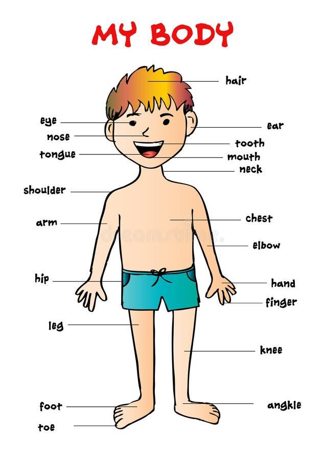 Mon ` de corps, diagramme graphique d'infos éducatives pour des enfants illustration stock