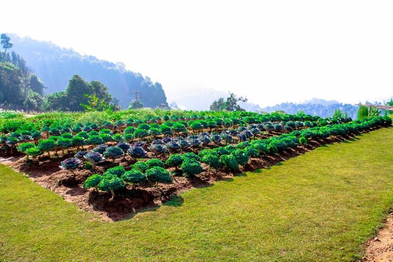 Mon Jam Chang Mai ,Thailand royalty free stock photography