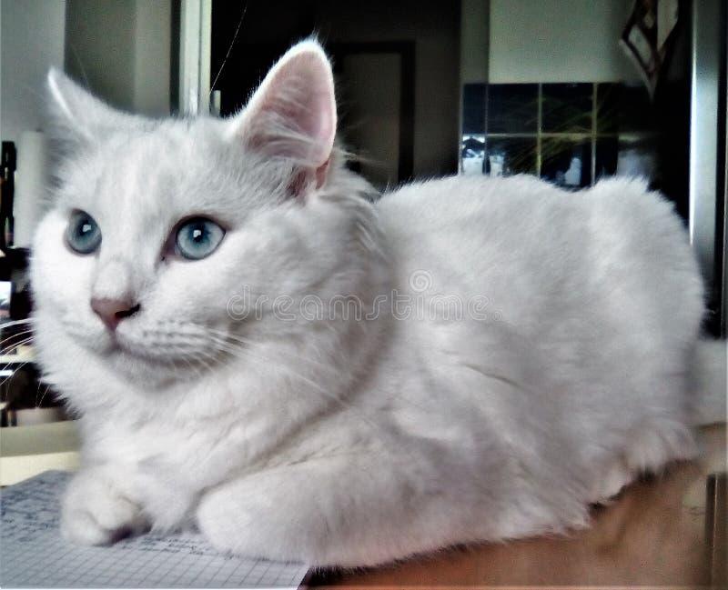 Mon jeune chat blanc photos libres de droits