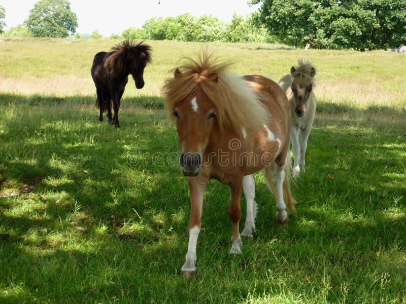 Mon petit poney dans le domaine photo stock